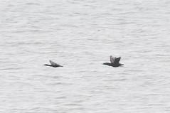 Blue Brandt (martytdx) Tags: ca july sanfrancisco birding birds cormorant brandtscormorant phalacrocoraxpenicillatus phalacrocorax anhingidae cliffhouse flying
