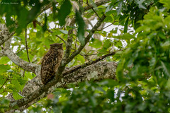 Brown fish owl (Bubo zeylonensis or Ketupa zeylonensis) (Sanjay Dandekar) Tags: brownfishowl ketupazeylonensis bubozeylonensis owl kabini indianwildlife bird birdportrait sigma sigma150600mmsports nikon d7100