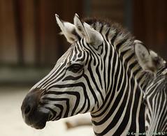 Zbre (eminorah) Tags: rayure extrieur zoologischergartenkarlsruhe karlsruhe zoodekarlsruhe zbre portrait rayures dessin texture regard fier fiert proud zebra