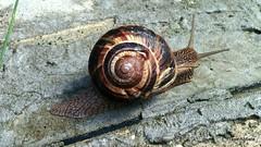 Snail (Frank Abbate) Tags: snail chiocciola lumaca nexus 5 animal animale emilia romagna fiorenzuola darda escargot schnecke caracol cargol