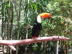 """Le Parc des Oiseaux d'Iguaçu: le plus grand des toucans, le plus beau. <a style=""""margin-left:10px; font-size:0.8em;"""" href=""""http://www.flickr.com/photos/127723101@N04/29531485532/"""" target=""""_blank"""">@flickr</a>"""