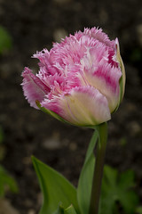 Tulip (ajr1961) Tags: flower macro up canon close sp tulip 90mm vc f28 650d tamrom