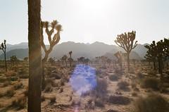 000015840018 (kneuhof) Tags: california road trip camping cactus tree film nature 35mm landscape la los angeles joshua hiking katie joshuatree roadtrip portra neuhof