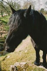 (_anke_) Tags: horse film animal analog 35mm cheval unterwegs vintagecamera analogue bochum canonae1program pferd dierentuin filmphotography 2015 animalparade filmisnotdead kleinbild filmsnotdead rossmann400 rossmannfilm rossmanniso400 filmlebt