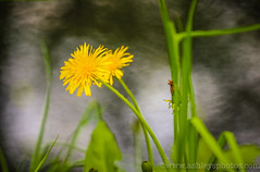 Just Dandy (A Great Capture) Tags: park toronto ontario canada flower water grass yellow creek river spring high weed highpark photographer walk great lion may canadian hike just capture dandy dandylion on agc 2015 a ash2276 jamesandi ashleyduffus adjm wwwashleysphotoscom ashandjames wwwagreatcapturecom agreatcapture