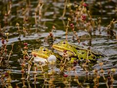 Frog (RikRik75) Tags: canon frog toad kikker sx50