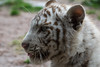 White Tiger Cub (Sandra Wildeman) Tags: portrait zoo cub nikon porträt tierpark portret tijger tigre dierentuin tigercub wittetijger tigreblanco katachtigen whitetigercub tigreblanc d5300 zoodamneville