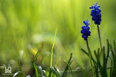 GEMELLI) (Lace1952) Tags: primavera italia natura piemonte fiore coppia muscari gemelli sottobosco vco croveo valleantigorio ossola nikond7100 nikkor50mmf1e4
