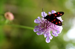 Genus Zygaena (2) (IVAN 63) Tags: italy forest butterfly brescia the thebutterflyforest valbertone cainobresciaitaly