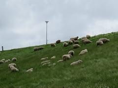 ckuchem-0220 (christine_kuchem) Tags: tiere weide meer gras kste schaf deich herde schafherde nutztier