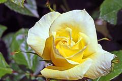 Maig_1245 (Joanbrebo) Tags: canoneos70d efs18135mmf3556is autofocus eosd 16concursinternacionalderosesnovesdebarcelona barcelona blumen blossom garden jard jardn parc park parque parccervantes flores flors flowers fiori fleur