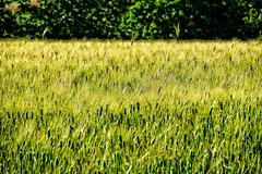 field (lotti roberto) Tags: italy primavera field italia fuji campagna tuscany campo toscana springtime castelfiorentino xt10