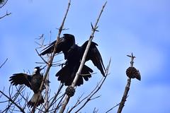 Magpies vs Ravens (Luke6876) Tags: bird animal wildlife magpie raven corvid australianwildlife butcherbird australianmagpie australianraven