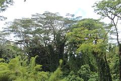 Falcataria moluccana vs Albizia chinensis trees (J. B. Friday) Tags: falcataria falcatariamoluccana albizia albiziachinensis albiziafalcataria fabaceae