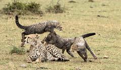 Cheetah with Cubs Playing (John Hallam Images) Tags: cheetah cubs playing mara masaimara kenya safari