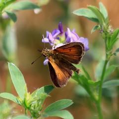 LULWORTH SKIPPER (Bradders62) Tags: lulworthskipper sigma eastchaldon purbeckdorset dorset butterflies butterfly skipper insects wildlife nature southwest canoneos