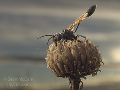 Ammophila (Sean McCann (ibycter.com)) Tags: ammophila sphecidae