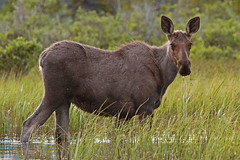 Affronted moose (alces alces) (Colin Pacitti) Tags: moose alcesalces moosewading moosefeeding wildanimal animal mammal outdoor wolflake theyukon canada coth fantasticwildlife coth5 hennysanimals specanimal sunrays5 ngc npc