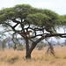 Tree Lion, Serengeti