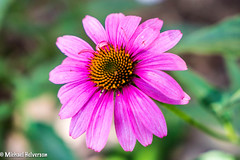 Flower.jpg (mhelv11) Tags: flowersplants summer nature