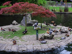 Oviedo. Campo de San Francisco. Pigeons pretending to be ducks. (Sharon Frost) Tags: travel spain pigeons parks ducks turtles oviedo campodesanfrancisco
