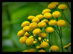 Rainfarn (karin_b1966) Tags: blume flower blüte blossom pflanze plant garten garden natur nature wildblume wildflower 2016 rainfarn yourbestoftoday