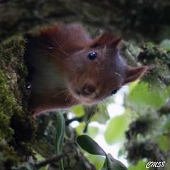 vu !-6419 (Les Hobbys de Cawol) Tags: red nature squirrel roux cureuil