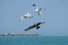 Herring Gulls fighting (Rita Wiskowski) Tags: southmetropier gull gulls herringgull herringgulls lakemichigan beach lake oakcreek wisconsin milwaukeecounty nature shore fight fighting drama birddrama