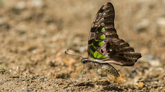Graphium agamemnon  (zleng) Tags: graphiumagamemnon  butterfly moth winged ant antenna a77 sony sonya77 macro macrophotography macrodreams macroshot malaysia insect insectcloseup closeup nature naturecloseup naturallight flying