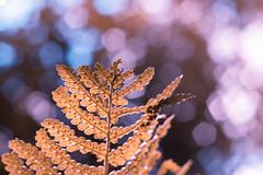 Fuji x-t10 carl zeiss (Jasrmcf) Tags: fujj fujinon fujifilm fujixt10 fujimacro leaf autumn bokeh bokehlicious bokehgraph dof beautiful smooth pentagram blur colourful pink purple orange green