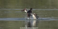 Svasso maggiore - Podiceps cristatus - Great Crested Grebe (robertovillaopere) Tags: greatcrestedgreabe svassi quarrel lite