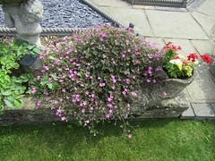 Geranium 'Orkney Cherry' (wallygrom) Tags: england westsussex angmering merryfieldcrescent geranium geraniumorkneycherry cranesbill