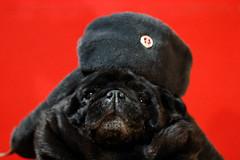comrade funso (amanda dias) Tags: pug blackpug comrade communism