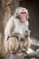 2016-08-04-15h18m11.BL7R7093 (A.J. Haverkamp) Tags: canonef100400mmf4556lisiiusmlens amsterdam zoo dierentuin httpwwwartisnl artis thenetherlands japansemakaak japanesemacaque