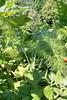 Mischkultur: Fenchel & Neuseeländer Spinat (fromourgarden) Tags: bodendecker mischkultur gartenbau gemüsegarten kitchen garden tetragonia tetragonoides neuseeländer spinat knollenfenchel fenchel foeniculumvulgare