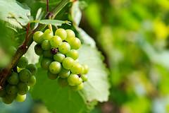 Styrian vine (Wenninger Johannes) Tags: vine wein styria austria sterreich weintrauben grapes