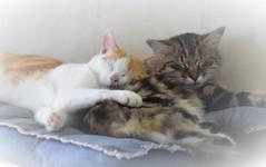 Chadort dur! (La Magie Du Moment) Tags: chat chatte animal dodo dormir beau chaton de compagnie
