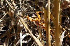 Mantid (gormanlauren97) Tags: praying mantis mantid insect nature wildlife