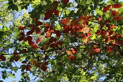 Tupelo Tree Already Changing! (robincagey) Tags: provincetown cape cod massachusetts new england nature trees woods trail province lands nps wildlife birds birdwatching tupelo
