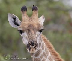 Giraffe - Giraffa camelopardalis (Ian Locock Photography) Tags: giraffe botswana moremi 2015