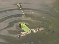 Common tree frog (kimbenson45) Tags: green nature water animal swimming greek mediterranean legs wildlife greece crete tadpoles cretan splayed hylaarborea commontreefrog