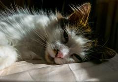 Bed Hogger - Tilly the 3-legged Cat (Panasonic Lumix LX100) (markdbaynham) Tags: leica pet cute cat lumix feline zoom panasonic fixed ft tilly 43rd compact 3legged lx panny evf fourthird lx100 2475mm f1728