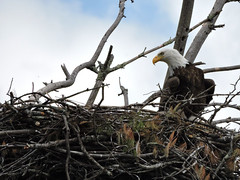eagle11 (GWP Photography) Tags: bird animal nikon nest eagle outdoor pennsylvania adler baldeagle pa coolpix eaglesnest aquila orel guia aigle waynecounty guila  orze milanville rn nestingpair     upperdelawareriver  waynecountypa coolpixp600