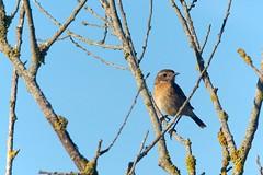 Tarier pâtre Saxicola rubicola - European Stonecha DSC05305 (cedric provost) Tags: france bird bretagne cedric oiseau provost finistere guisseny lecurnic