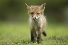 Fox Cub (Alastair Marsh Photography) Tags: animal animals tongue fur mammal wildlife fox mammals foxes britishwildlife redfox smallanimal smallanimals foxcub smallmammal smallmammals babymammal britishmammal britishmammals britishanimals britishanimal