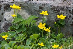 Marsh Marigold (pstani) Tags: uk plant flower scotland shetland lerwick marshmarigold calthapalustris kingcup
