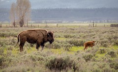Red Dog (LensEye View) Tags: animals nationalpark buffalo wyoming reddog tetons bison grandtetonnationalpark antelopeflats