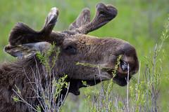 Juvenile Moose (laura's POV) Tags: nature wildlife moose wyoming jacksonhole grandtetonnationalpark juvenilemoose lauraspointofview lauraspov