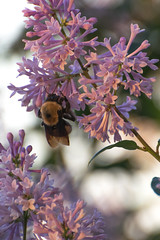 Bee in Lilacs I (phingular) Tags: insect bc columbia bee lilac british kamloops