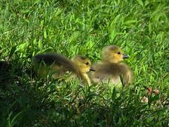 IMG_8599e (Ullysses) Tags: ontario canada spring ottawa chicks printemps canadagoose